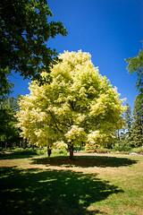 "Niagara Falls_197 (@dbhaffey) Tags: niagara niagarafalls ""niagara parks botanical gardens"" niagaraparksbutterflyconservatory tree trees branches sky niagaraonthelake dbhaffeysnapshots"