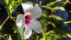 Wild Petunia (Suzanham) Tags: wildpetunia wildflower flower bloom ruellia ruellias noxubeewildliferefuge mississippi nature vegetation acanthaceae