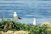 Les gardiens de la digue ! (jean-daniel david) Tags: lac lacdeneuchâtel eau bleu vert verdure rocher oiseau oiseaudeau goéland duo gardien herbe yvonand suisse suisseromande vaud bokeh port