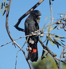 Male eating nuts. (ron_n_beths pics) Tags: westernaustralia perthbushlands birds