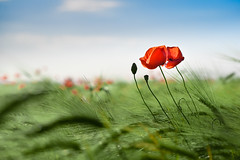 In the field (cosovan vadim) Tags: field poppies flowers spring red nature d750 flower sky sigma 70300mm bokeh