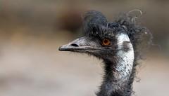 EMU..... (Fritz Zachow) Tags: vogel emu tier und freizeitpark thüle niedersachsen deutschland