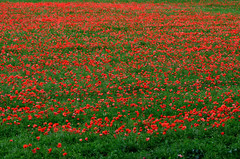 Rouge coquelicot (alain-grossemy) Tags: paysage landscape rouge red coquelicot poppy hautsdefrance france photographe photographie photography fleur flower