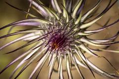 Flor Sierra de Mijas 2018 (Lisa Claros) Tags: nature naturaleza cardo espiral mijas spain malaga macro macrofotografia macroword macrodreams