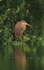 1S9A6184 (saundersfay) Tags: heron purple bird rare sighting sevenoaks