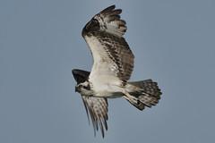 _A734955 (bram-sowers) Tags: sonyfe2470gm sonyfe100400mmgm sonya7riii warsawvirginia rappahannockriver eagle osprey tycho chez