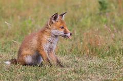 Fox cub (cogs2011) Tags: fox cub thursley colin field