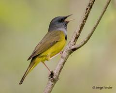 Paruline triste/ Mourning Warbler (sergeforcier) Tags: parulinetristemourningwarbler