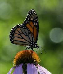 MonarchButterfly_SAF2492 (sara97) Tags: danausplexippus butterfly copyright©2018saraannefinke endangered insect missouri monarch monarchbutterfly nature photobysaraannefinke pollinator saintlouis towergrovepark towergrovepark2018