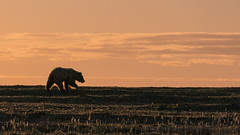 Foraging to the sunset (Mathieu Dumond) Tags: canada arctic nunavut kugluktuk tundra july summer sunset evening orange pink silhouette nature wildlife animal bear grizzly ursus lumix mathieudumond umingmakproductions