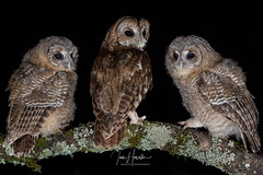 Tawny Owl and Owlets (Ian howells wildlife photography) Tags: ianhowells ianhowellswildlifephotography ianhowellswildifephotography nature naturephotography nationalgeographic unitedkingdom wildlife wildlifephotography wildbird wild wildbirds tawnyowl tawny owlets owl springwatch