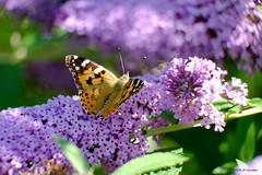 L'été est arrivé (jpto_55) Tags: labelledame papillon proxi fuji fujifilm xe1 hautegaronne france ngc