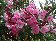 Pink flowers [Explored June 21, 2018] (Hélène_D) Tags: hélèned france provencealpescôtedazur provence paca alpesdehauteprovence ahp manosque plante plant flower fleur myflowers laurier laurierrose waterdroplet gouttedeau inexplore