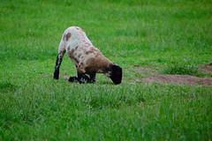 Lamb, kneeling to eat (Dave_A_2007) Tags: animal lamb mammal nature sheep wildlife stratfordonavon warwickshire england