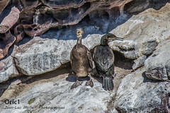 Cormorans huppés (Oric1) Tags: 22 canon cormoran côtesdarmor france jeanlucmolle oric1 plévenon armorique bird breizh bretagne brittany eos huppé oiseau juvénile adulte ornithologie ornithology watching