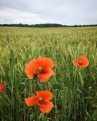 Poppies in the Field (arrjryqp6) Tags: ruralmichigan poppy bythesideoftheroad wheatfields wheat rural countrybeauty poppiesinthefield field poppies