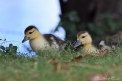 DSC_1996 (OharuArt) Tags: hawaii oahu cairina moschata muscovy duck ノバリケン ハワイ 鳥 バリケン ducklings 子ガモ
