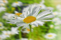 Chamomile / Ромашки (kvl23) Tags: flower bloom flowers nature beauty closeup macro bright russia plants ромашка chamomile