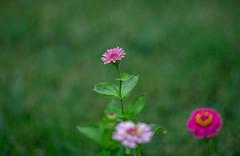 Test photos-6 (andrewheer) Tags: sonya7ii super multicoated takumar 135mm f25 flower