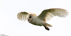 Barn Owl. On The Prowl (Steve (Hooky) Waddingham) Tags: stevenwaddinghamphotography bird countryside coast nature northumberland voles mice flight hunting prey photography wild wildlife