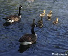 IMG_20180520_160822_695 (missymonroe82) Tags: ducks ducklings pond pondlife summer