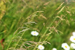 meadow (EllaH52) Tags: summer sun nature green meadow grass daisies bokeh macro