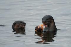 Urban Otters (elenaleong) Tags: otters smoth smoothcoatedotters otterfamily marinabay marinareservoit sataybythebay celebrityotters elenaleong biodiversityofsingapore wildlife
