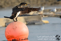 The Maestro (Ma3eN) Tags: great cormorant khorkalba sharjah uae 2017 bird