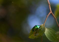 ALL THAT GLITTERS... (GOPAN G. NAIR [ GOPS Creativ ]) Tags: gopsorg gopangnair gops gopsphotography gopan photography macro scutelleridae green glittering jewel bug beetle nature