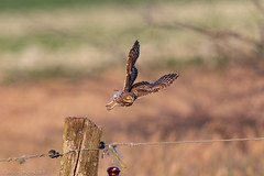Project 2018 Little owls (eric-d at gmx.net) Tags: littleowl steinkauz athenenoctua strigidae kauz eule owl ngc eric wildlife