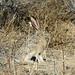 Black-tailed Jackrabbit (Petroglyph NM)