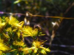Buena jera (Luicabe) Tags: abeja airelibre amarillo animal cabello enamorado estambre exterior flor hierba insecto luicabe luis macrofotografiìa naturaleza peìtalo planta polen yarat1 zamora ngc macrofotografía pétalo