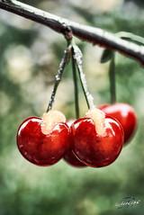 Sweet fruits (TS Lichtreise) Tags: kirsche cherry honig honey red rot 80mm bokeh sweet fruit macro makro