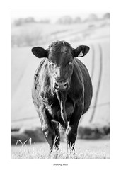 Black Beauty (AnthonyCNeill) Tags: cow kuh vache vaca animal tier portrait black white blanco negro blanc noir schwarz weiss outdoor countryside field livestock grass sky cattle closeup standing
