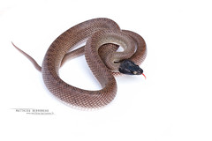Couleuvre-chat d'Afrique du Nord Telescopus tripolitanus (Matthieu Berroneau) Tags: white fondblanc blanc highkey fond whitebackground background telescopus tripolitanus telescopustripolitanus serpiente gato norteafricana serpientegatonorteafricana north african catsnake northafricancatsnake couleuvrechat dafrique du nord couleuvrechatdafriquedunord marocco marruecos sahara occidental sony alpha a7ii trip herpéto herpeto 2016 nature field herp herping wildlife ff 24x36 full frame macro sonya7ii sonyalphaa7ii animal animaux sonya7mk2 sonyalpha7mark2 sonyalpha7ii 7ii 7mk2 sonyilce7m2 90 28 fe f28 g oss fe90f28macrogoss sonyfesonyfe2890macrogoss objectifsony90mmf28macrofe sel90m28g maroc morocco reptile fondo blanco fondoblanco