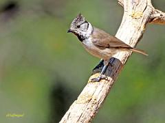 Herrerillo capuchino (Lophophanes cristatus) (1) (eb3alfmiguel) Tags: aves insectívoros paridae herrerillo capuchino lophophanes cristatus