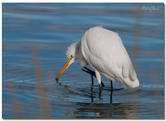 Great Egret (Betty Vlasiu) Tags: great egret ardea alba wildlife nature bird chincoteague island