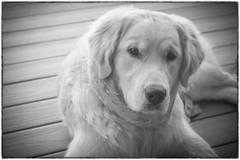 I will follow you everywhere (Karon Elliott Edleson) Tags: blackandwhite monotone 7dwf thursdaysblackandwhite golden goldenretriever canine