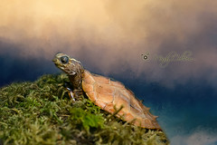 Turtle (yosmama151) Tags: 2016 oklahoma oklahomacityzoo turtle aquaticanimal herpetarium herp reptile thedailytexture textured