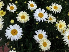 #Margariten #Leucanthemum He loves me, he loves me not. It matters little, I am what he's got :)) (RenateEurope) Tags: margariten leucanthemum awesomeblossoms flora flowers white 2018 summer iphoneography renateeurope one insect