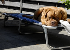 Iwan 08-07-2018 (dickjan thuis) Tags: doguedebordeaux bordeauxdog mastiff dogue