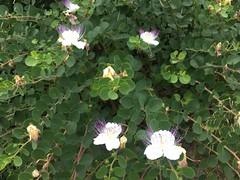 Blooming Caper Tree