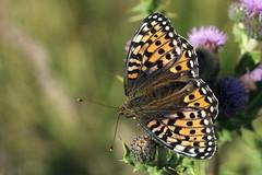 Fritillary (claylaner) Tags: butterfly nymphalidae atlantis fritillary insect none native speyeria