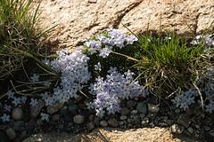 Cushion Phlox (San Francisco Gal) Tags: wildflower cushionphlox flower phloxpulvinata plant rock bloom blossom fleur rockymountainnationalpark rmnp grass