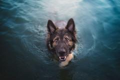 Ceppe <3 (Photography Ilona Mikkonen) Tags: water dog dogphoto dogphotography germanshepherd shepherd blue socute pet petphoto hund lovely