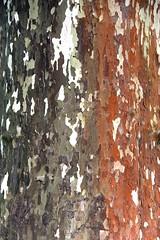Platanus × hispanica (just.Luc) Tags: sycamore plane plataan platane tree boom baum arbre stam trunk tronc stamm nature natuur gaia potsdam brandenburg allemagne deutschland duitsland germany schors écorce bark rinde