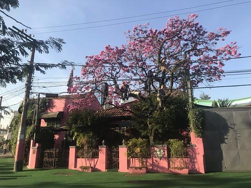 Casa 92, The pink trumpet tree, Pine Trees District, São Paulo, Brazil.