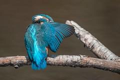 Eisvogel, Martin pêcheur, Kingfisher (Manuela Droz) Tags: eisvogel kingfisher martinpêcheur oiseaux vogel natur bird