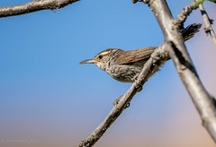 Bewick's Wren (Stephen R. D. Thompson) Tags: lincoln california locations lincolnhome orderpasseriformessongbirds thebirdsaves nature stcphotography usa genusthryomanesbewicks stephen r d thompson na 2018 bewickswrenspeciesthryomanesbewickiipasseriformestroglodytidaethryomanesthryomanesbewickii familytroglodytidaewren stephenrdthompson bewickswrenspeciesthryomanesbewickiipasseriformestrog