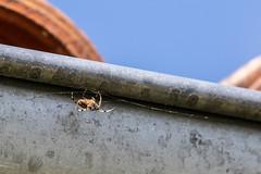 New web (kick4ever) Tags: larochelle nouvelleaquitaine france fr spider macro web